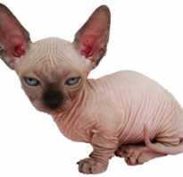 Сколько стоит сфинкс котенок в россии