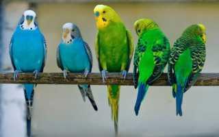 В каком возрасте брать попугая
