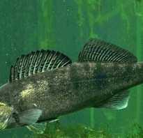 Рыба судак фото и описание