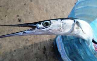 Рыба сарган картинки