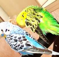 Как заставить попугаев спариваться