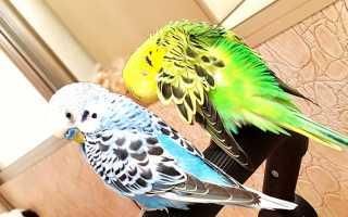 Как спариваются волнистые попугайчики