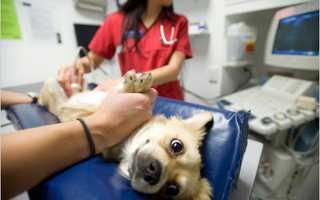 Гнойное воспаление матки у собак