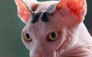 Все о сфинксах котах