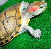 Красноухая черепаха самец