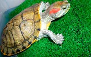 Красноухие черепахи пол