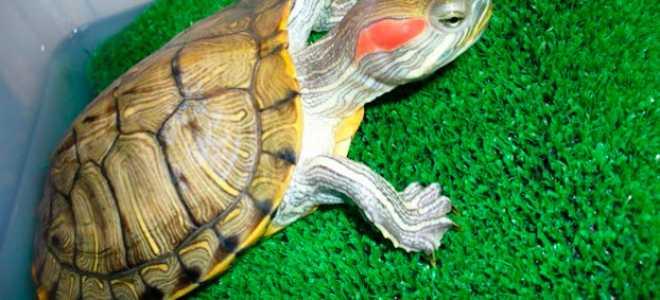 Половые органы красноухих черепах