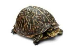 Максимальная скорость красноухой черепахи