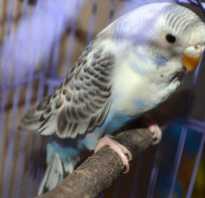 Вода в помете у волнистого попугая