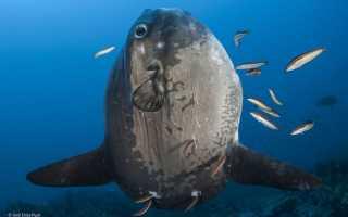 Mola mola рыба