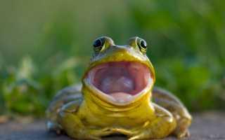 Чем дышит лягушка