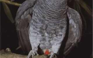 Попугаи в африке