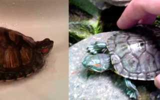 Как мыть красноухих черепах