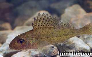 Ерш рыба описание