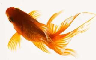 Золотые рыбки аквариумные совместимость с рыбками