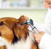 Воспаление уха у собаки лечение