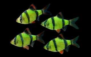 Содержание барбусов суматранских в аквариуме