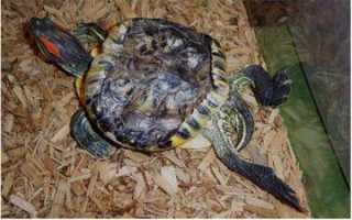 Красноухая черепаха спит в воде