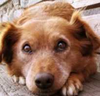 Что можно дать собаке противовоспалительное