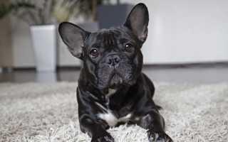 Небольшие гладкошерстные собаки для квартиры