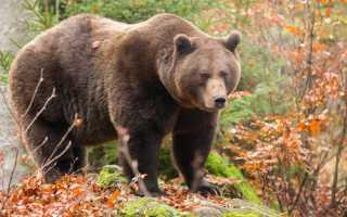 Бурый медведь красная книга