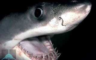 Сколько у акулы