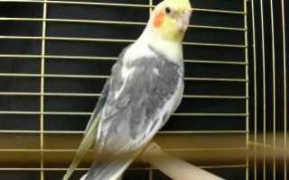 Как разговаривают попугаи корелла видео