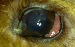 Чем промыть глаз собаке от гноя