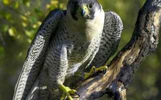 Балабан птица фото