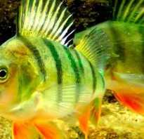 Рыба окунь фото и описание