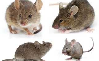 Виды мышей в россии