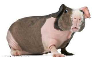 Морская свинка скинни фото