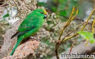 Попугай какарик самец и самка