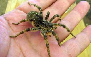 Паук тарантул южнорусский