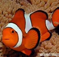 Рыба клоун это