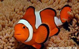 Аквариумные рыбки немо