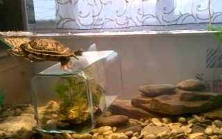 Какой уровень воды для красноухой черепахи