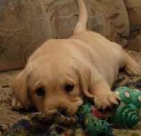 Дрессировка щенка 1 месяц