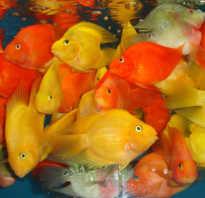 Какие рыбки совместимы с золотыми