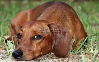 Фото собаки таксы щенки