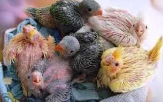 Как выкормить птенца попугая