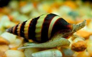 Улитка поедающая других улиток в аквариуме