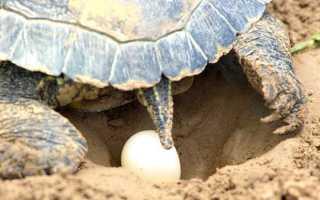 Красноухая черепаха яйца