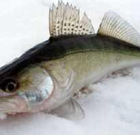 Судак какой вид рыбы