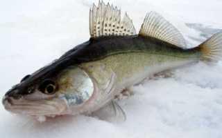 Судак к какому семейству рыб относится
