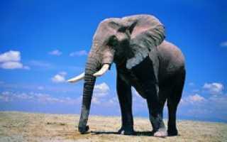 Сколько в удаве слонов