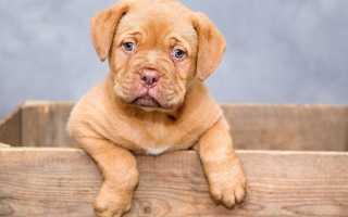 Как приучить взрослую собаку к лотку