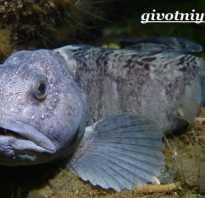 Рыба зубатка фото где водится