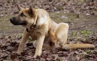 Как помочь собаке избавиться от блох