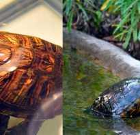 Какие овощи можно давать красноухой черепахе